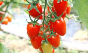 番茄病虫害防治