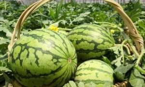 供应西瓜嫁接苗,8424,麒麟,京欣,美都西瓜品种