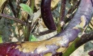 常见蔬菜主要病虫害防治