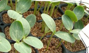 西瓜叶片白枯是什么原因