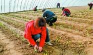 露地西瓜割蔓再生优质高产栽培技术