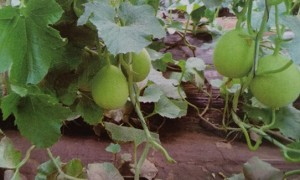 甜瓜苗栽培中果实的生理性病害主要有哪些